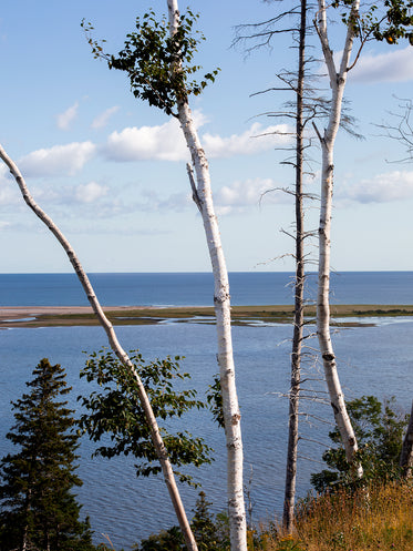 birch trees looking out to water