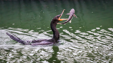 bird catches fish in its beak while floating in the water