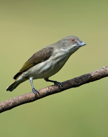 bird with blue beak perched on branch