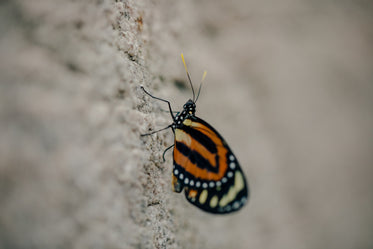 black and orange butterfly sitting on side of rocks