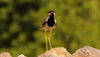 black and red bird with long yellow legs