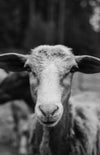 black and white photo of a goats face