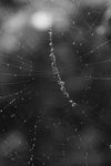 black and white photo of a wet spider web