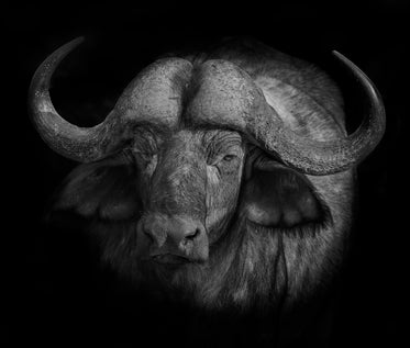 black and white photo of an animal with large horns