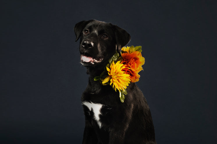 Black Lab Cross Wearing Flowers