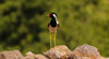 black red and white bird stands on a rock