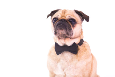 black tie dog