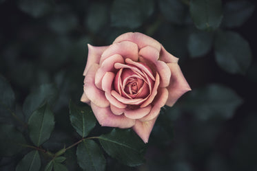 blossomed pink rose in focus