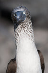 blue footed booby face