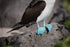 blue footed booby feet