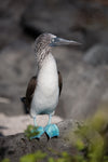 blue footed booby on rock