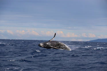 blue whale jumps out of the ocean