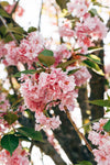 bright pink cherry blossoms with leaves