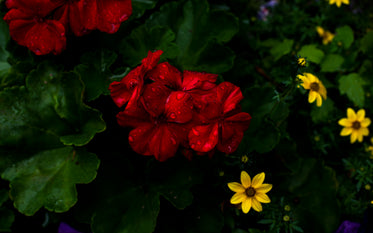 bright red and yellow summer flowers