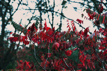 High Res Bright Red Autumn Leaves Picture — Free Images