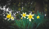 bright yellow daffodils surrounded by lush green plants