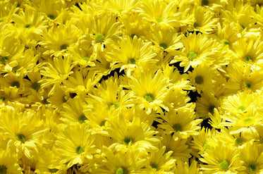 Browse free hd images of bright yellow flowers in bunches mightylinksfo