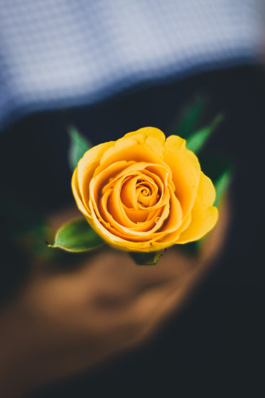 bright yellow rose in hand