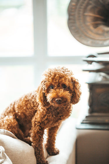 brown dog sitting next to vintage record player
