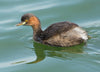brown duck swimming