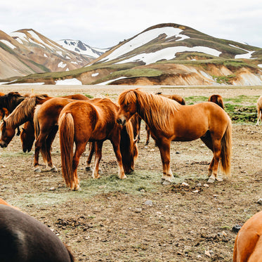 brown horses grouped together