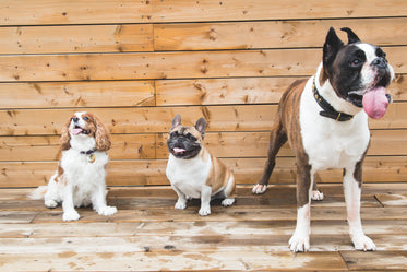 brown & white dogs