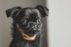 brussels griffon dog looks out the window