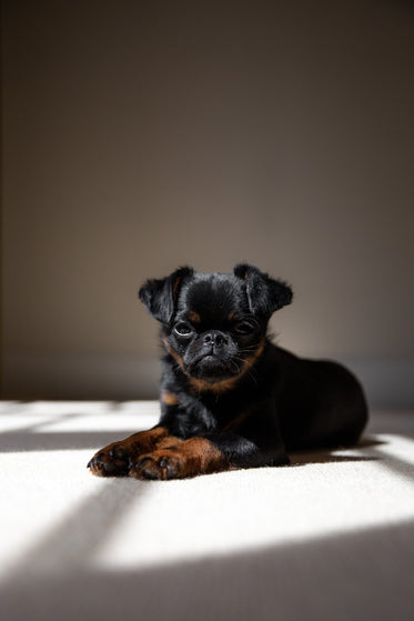 brussels griffon puppy looks sleepy