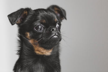 brussels griffon puppy pondering existence