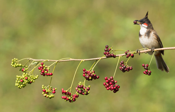 Bulbul Crested Bird Eating Berries