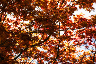bunches of japanese maple leaves layered over sky in soft focus