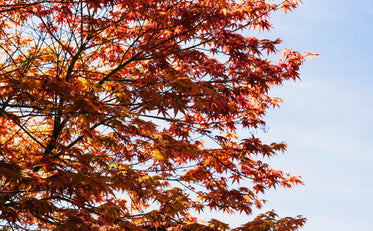 burnt orange and red japenese maple branches in morning light