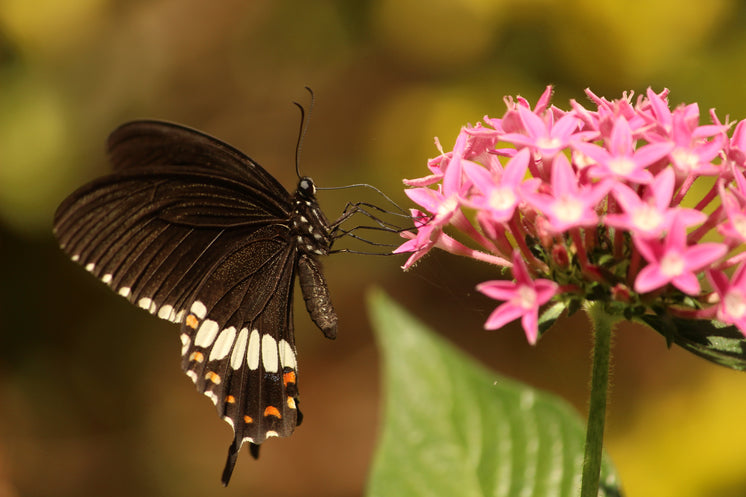 Butterfly Perched On Wildflower