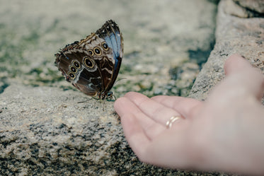 butterfly with blue and brown wings greeted with hand
