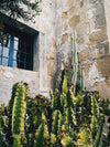 cactus growth by stone wall