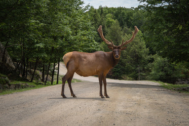 caribou with large antlers crosses dirt road
