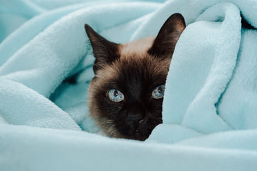cat peeks out of a blue blanket