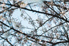 cherry blossom tree branches