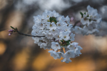 cherry blossom with sunlight in the background
