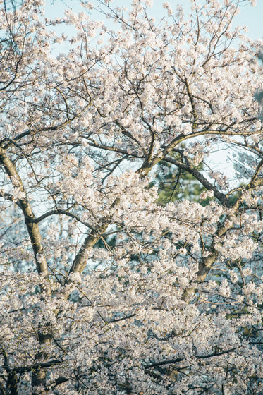 cherry blossoms fill the screen