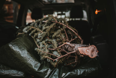 christmas tree in back of car
