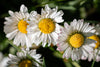 cloe up of daisies with bright yellow head
