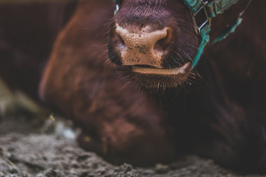Picture of Close Up Cows Nose — Free Stock Photo