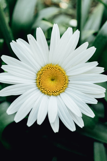 close up of a daisy with yellow center