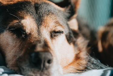 close up of a dog as it naps in sunshine