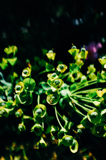 close up of a green plant with small green flowers