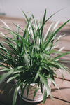 close up of a green spikey plant in a white pot