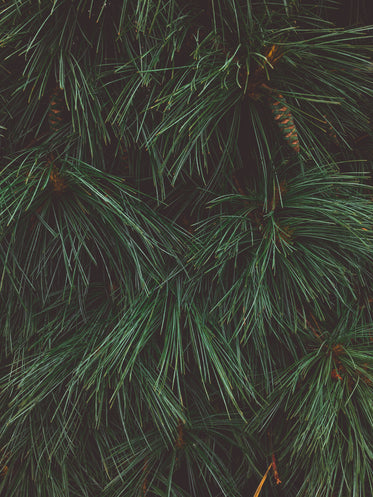 close up of a pine tree showing texture of pine needles