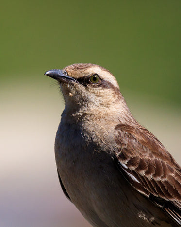 close up of a small brown bird with green background