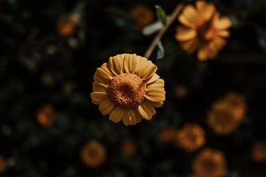 close up of a small yellow flower with small petals